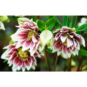 растения Морозник восточный Double Ellen White Spotted