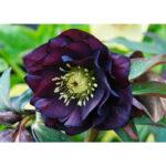 цветы Морозники восточные Double Ellen Purple Spotted