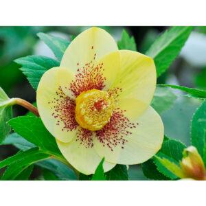 Морозник восточный Yellow Lady