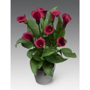 Калла Allure темно-бордовая