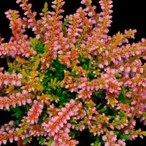 вечнозеленое растение вереск обыкновенный