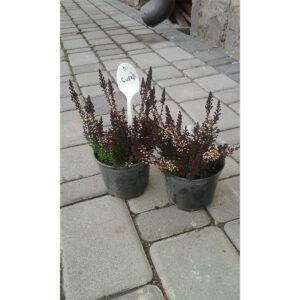 многолетний кустарник вереск Svenja