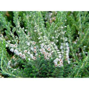 вечнозеленное растение вереск обыкновенный Velvet Fascination