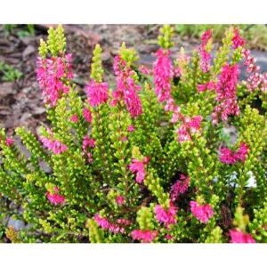 вечнозеленые растения вереск обыкновенный Сon Brio