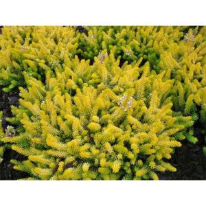 вечнозеленый кустарник эрика румяная Golden Starlet