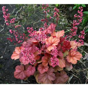 вечнозеденое растение Гейхера Априкот (Heuchera Apricot, Абрикос)