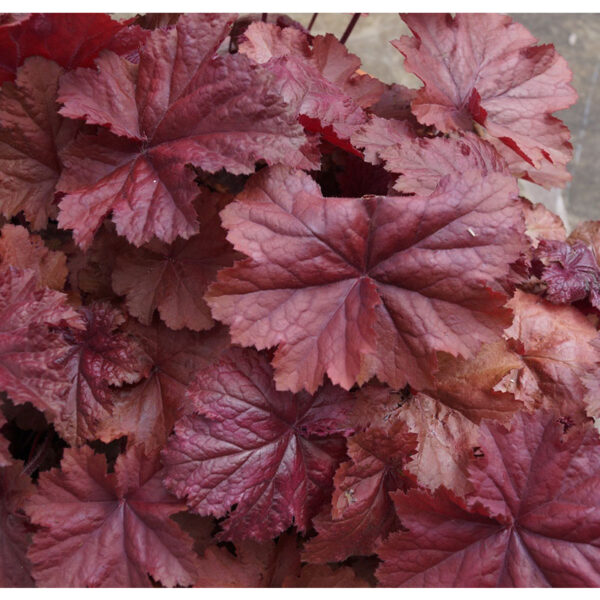 фото Гейхера Божоле (Heuchera hybrida Beaujolais)