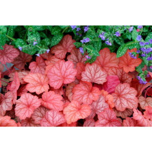 фото Гейхера Джорджия Пич (Heuchera hybrida Georgia Peach)
