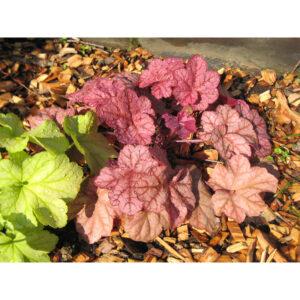 вечнозеленые растения Гейхера Энкор (Heuchera Encore)