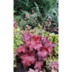 Гейхера Фаер Чиф (Heuchera hybrida Fire Chief)