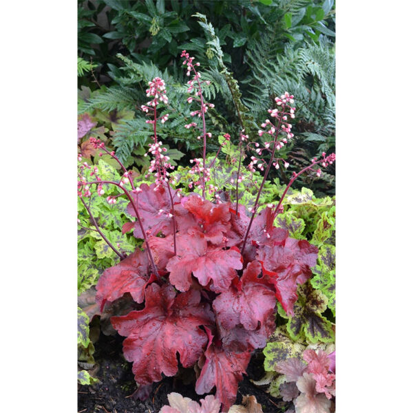 фото Гейхера Фаер Чиф (Heuchera hybrida Fire Chief)
