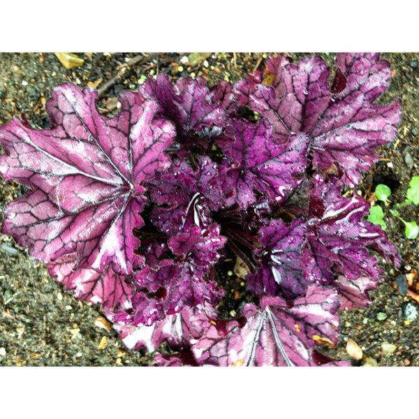 уход за Гейхера Форевер Пурпл (Heuchera Forever Purple)