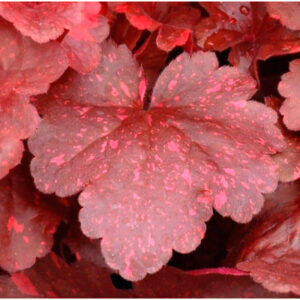 фото Гейхера Гэлэкси (Heuchera Galaxy, Галактика)