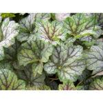 вечнозеленое растение Гейхера гибридная Бьюти Калор (Heuchera hybrida Beauty Colour)