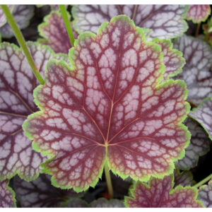 фото Гейхера гибридная Бьюти Калор (Heuchera hybrida Beauty Colour)