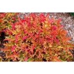 Гейхера гибридная Мармелад (Heuchera hybride Marmelade)