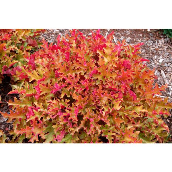 вечнозеленое растение Гейхера гибридная Мармелад (Heuchera hybride Marmelade)