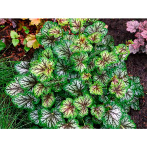 вечнозеленый кустарник Гейхера Грин Спайс (Heuchera Green Spice)