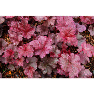 фото Гейхера Миднайт Роуз (Полуночная Роза, Heuchera hybrida Midnight Rose)