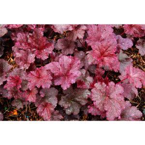 фото Гейхера Миднайт Роуз (Полуночная Роза, Heuchera hybrida Midnight Rose)