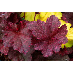растения Гейхера Миднайт Роуз (Полуночная Роза, Heuchera hybrida Midnight Rose)