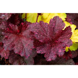 растения Гейхера Миднайт Роуз (Полуночная Роза, Heuchera hybrida Midnight Rose)