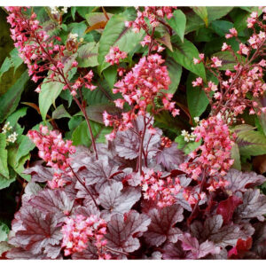 растение полутени Гейхера Милан (Heuchra Milan)