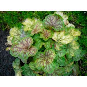 растение Гейхера Ренуар (Heuchera Renoir)