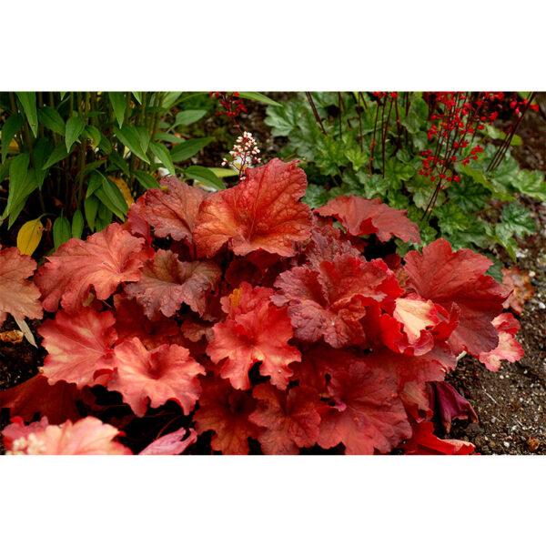 растения Гейхера Рио (Heuchera hybrida Rio)