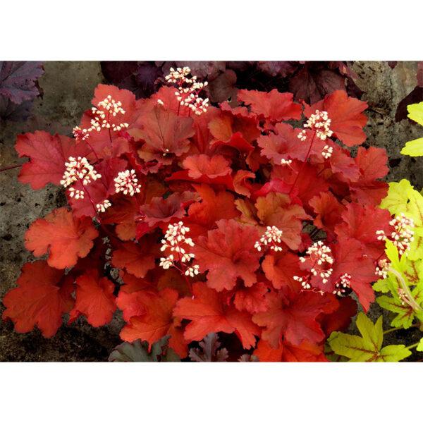 фото Гейхера Рио (Heuchera hybrida Rio)