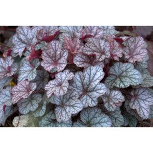 вечнозеленое растение Гейхера Серебряные свитки (Heuchera hybrida Silver scrolls)