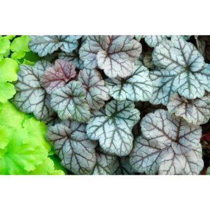 фото Гейхера Серебряные свитки (Heuchera hybrida Silver scrolls)