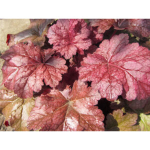 фото Гейхера Вельвет Найт (Heuchera Velvet Night, Бархатная Ночь)