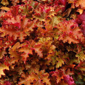 фото Гейхера Зиппер (Heuchera Zipper)