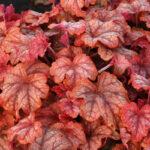 описание Гейхерелла Ханей Роуз (Heucherella Honey Rose)