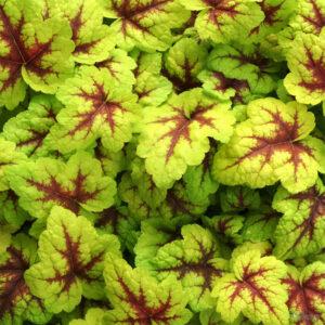 вечнозеленые растения Гейхерелла Санспот (Heucherella Sunspot)
