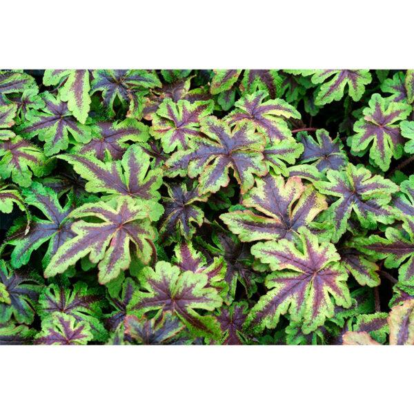 вечнозеленое растение Тиарелла Джиперс Криперс (Tiarella Jeepers Creepers)