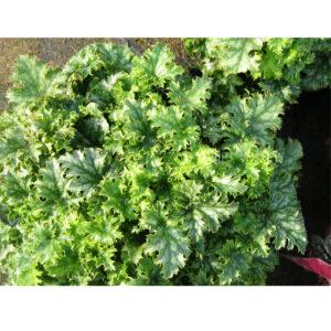 Гейхера Apple Crisp – декоративно-лиственное растение