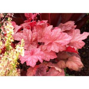 Декоративные гейхеры Autumn Leaves