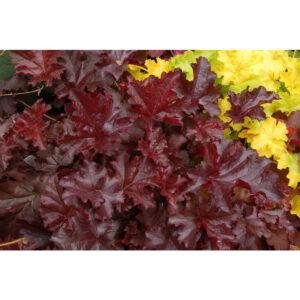 Гейхера Chocolate Ruffles компактное растение