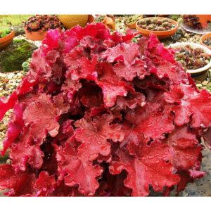 Купить гейхеру Mahogany в питомнике «Netgreen»