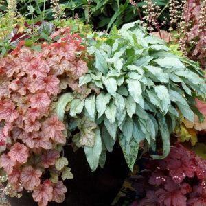 Copper Cascade – гейхерелла для дизайна сада