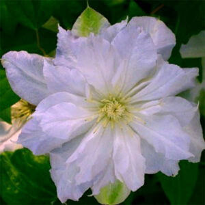 Сорт клематиса Chalcedony с махровыми цветами