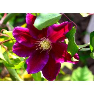 Купить клематис Hania PBR плетущиеся растения для сада