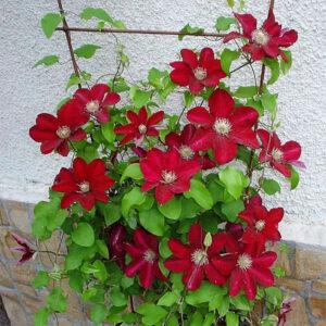 Купить дешево крупноцветковый клематис Hoshi-no-Flamenco