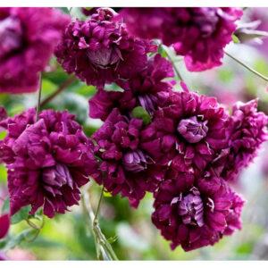 Купить саженцы Пурпуреа Плена Элеганс по низкой цене