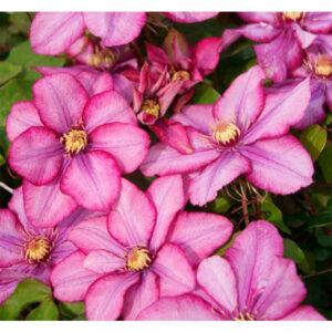 Клематис Paradiso — крупноцветковой сорт