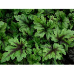 tiarella-neon-light