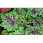 tiarella-neon-light1