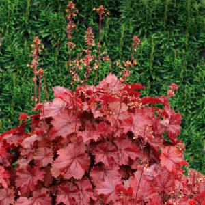 Northern Exposure Red. Купить растение для сада